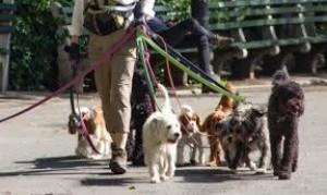 Legislatura: Buscan regular el trabajo de los paseadores y adiestradores de perros