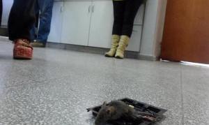 Escuela pública de Flores invadida por ratas